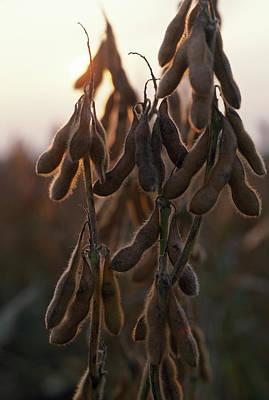Drying Soybean Pods On The Bush Poster