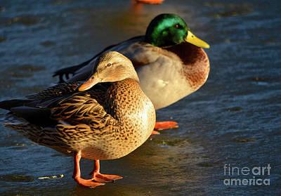 Duck Pair Sunbathing On Frozen Lake Poster