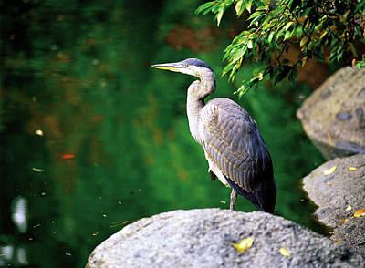 Duck Pond Heron Poster