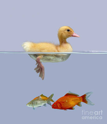 Duckling And Goldfish Poster by Jane Burton