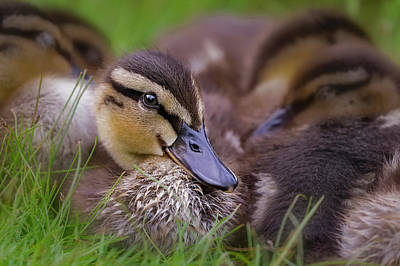 Poster featuring the photograph Ducklings Cuddling by Susan Candelario
