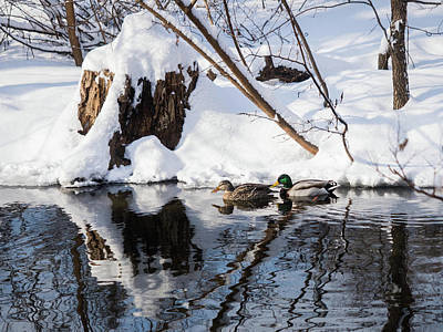Ducks In Snow Poster
