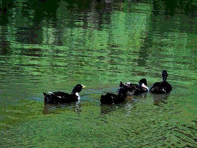 Ducks Swim In A Pond 2 Poster