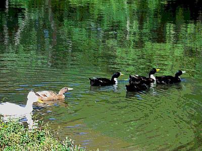 Ducks Swim In A Pond  Poster
