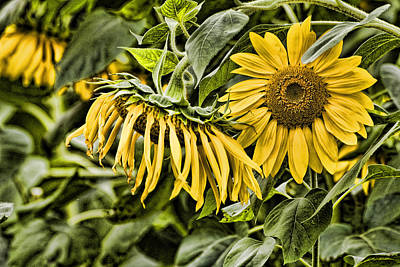 Durham Sunflowers 3 Poster