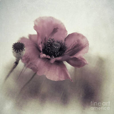 Dusty Pink Poppy Poster by Priska Wettstein