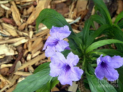 Poster featuring the photograph Dwarf Mexican Petunias by Terri Mills