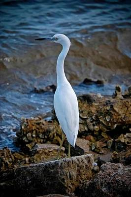 Eager Egret Poster by DigiArt Diaries by Vicky B Fuller