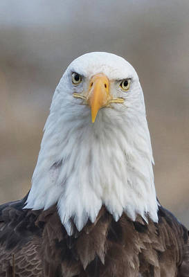 Poster featuring the photograph Eagle Attitude by Angie Vogel