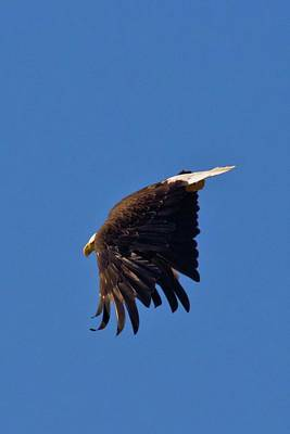 Poster featuring the photograph Eagle Dive by Linda Unger