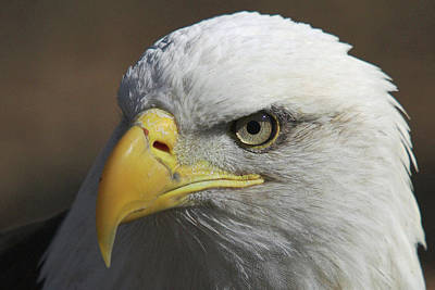 Poster featuring the photograph Eagle Eye by Steve Stuller