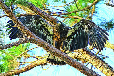 Poster featuring the photograph Eagle Fledgling II 2017 by Deborah Benoit
