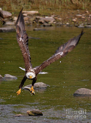 Poster featuring the photograph Eagle Fying With Fish by Debbie Stahre