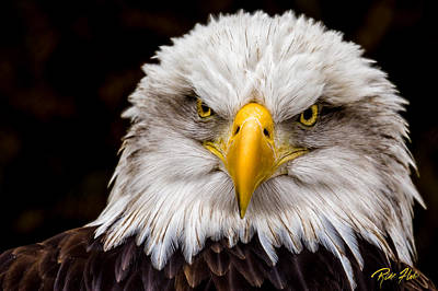 Defiant And Resolute - Bald Eagle Poster
