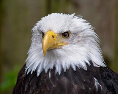 Eagle In Ketchikan Alaska Poster by Michael Bessler