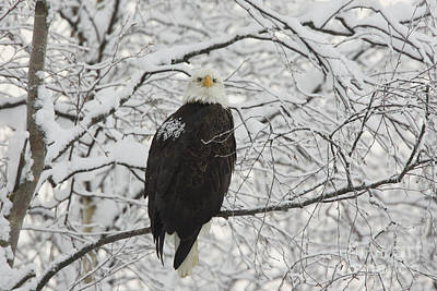 Eagle In Snow Poster by Tim Grams
