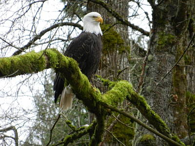Eagle On A Mossy Limb Poster by Karen Molenaar Terrell