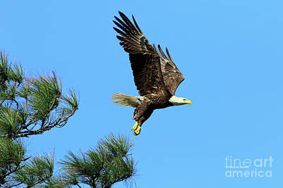 Poster featuring the photograph Eagle Series 1 2017 by Deborah Benoit