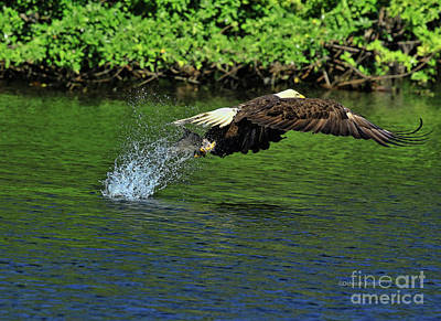 Poster featuring the photograph Eagle Series Fish Catch by Deborah Benoit