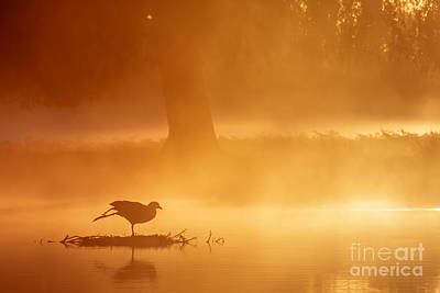 Earasian Coot At Sunrise Poster