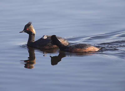 Eared Grebe With Babies Poster by Mark Duffy