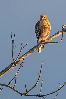 Early Bird Hawk Poster by Bill Wakeley