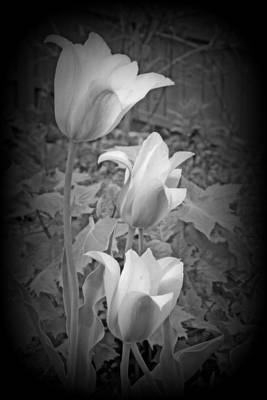 Early Blooming Tulips In Black And White Poster