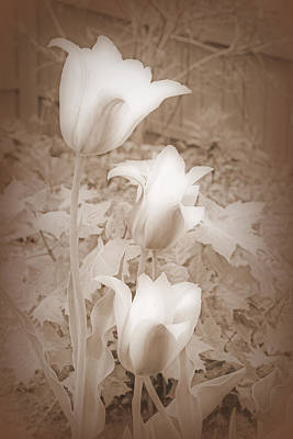Early Blooming Tulips In Sepia Poster by Kay Novy