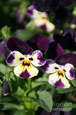 Early Morning Pansies Poster