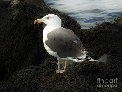 East Coast Herring Seagull Poster