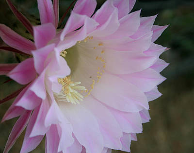 Easter Lily Cactus East Poster
