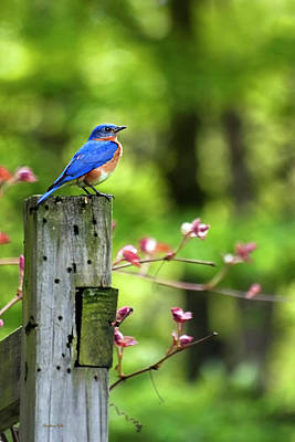 Eastern Bluebird Poster by Christina Rollo