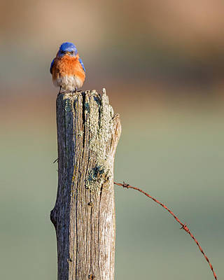 Poster featuring the photograph Eastern Bluebird Portrait by Bill Wakeley