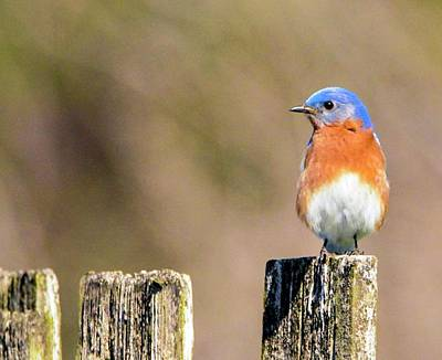 Eastern Bluebird Poster by Sumoflam Photography