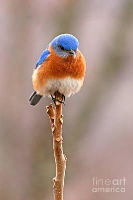 Eastern Bluebird Treetop Perch Poster