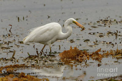 Eastern Great Egret 10 Poster