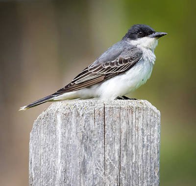 Poster featuring the photograph Eastern Kingbird 2018 by Ricky L Jones