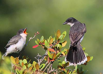 Eastern Kingbird And Fledgling Poster