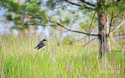 Eastern Kingbird Poster by Charline Xia