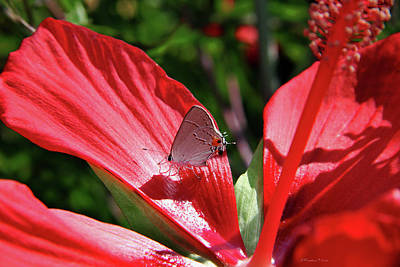 Eastern Tailed Blue Butterfly On Red Flower Poster by Inspirational Photo Creations Audrey Woods