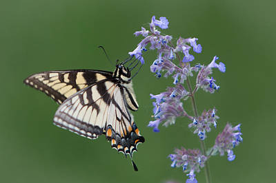 Eastern Tiger Swallowtail Profile Poster by Patti Deters