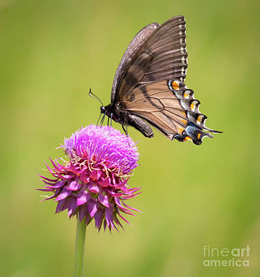 Poster featuring the photograph Eastern Tiger Swallowtail Dark Form  by Ricky L Jones
