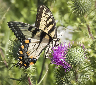 Eastern Tiger Swallowtail Poster by Ricky L Jones