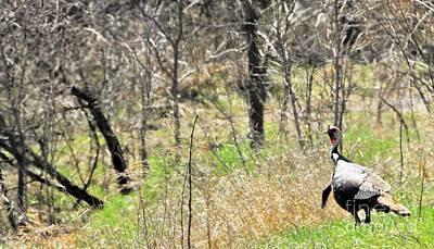 Eastern Wild Turkey Retreats From Scouting Poster by Rachel Hersh