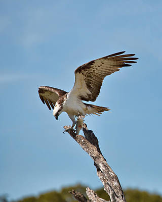 Eating Osprey-1 Poster by Rudy Umans