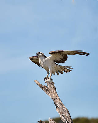 Eating Osprey-2 Poster by Rudy Umans