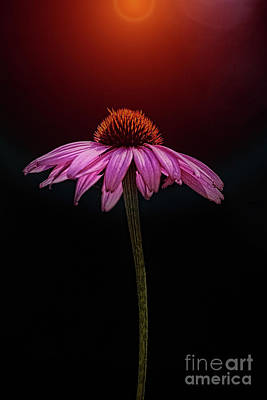Echinacea And Sun Poster