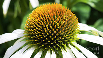 Poster featuring the photograph Echinacea - Head And Shoulders by Wendy Wilton