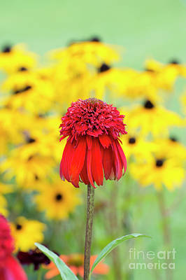 Echinacea Hot Papaya Flower Poster