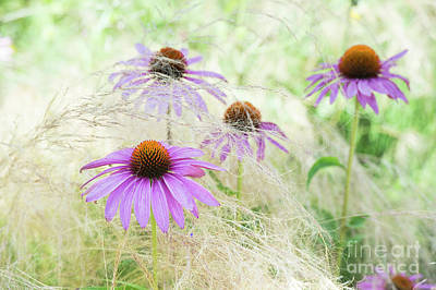 Echinacea In The Grass Poster